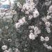 Mandeltræ, det forår i Alanya